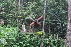 Orangutans begrüßen uns im Regenwald von Borneo [MYS]