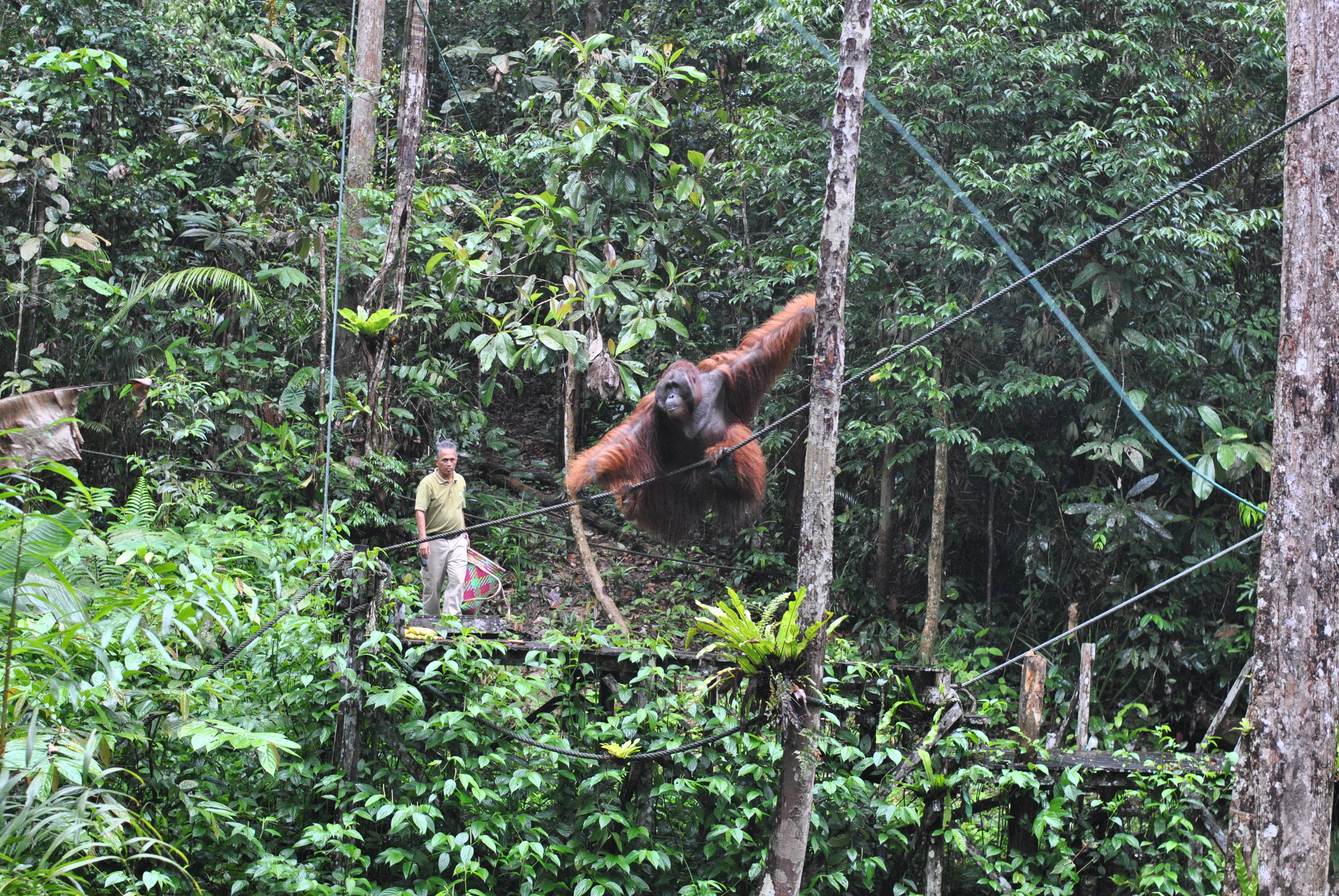 You are currently viewing Orangutans begrüßen uns im Regenwald von Borneo [MYS]