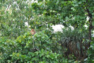 Nasenaffen im Bako Nationalpark [MYS]