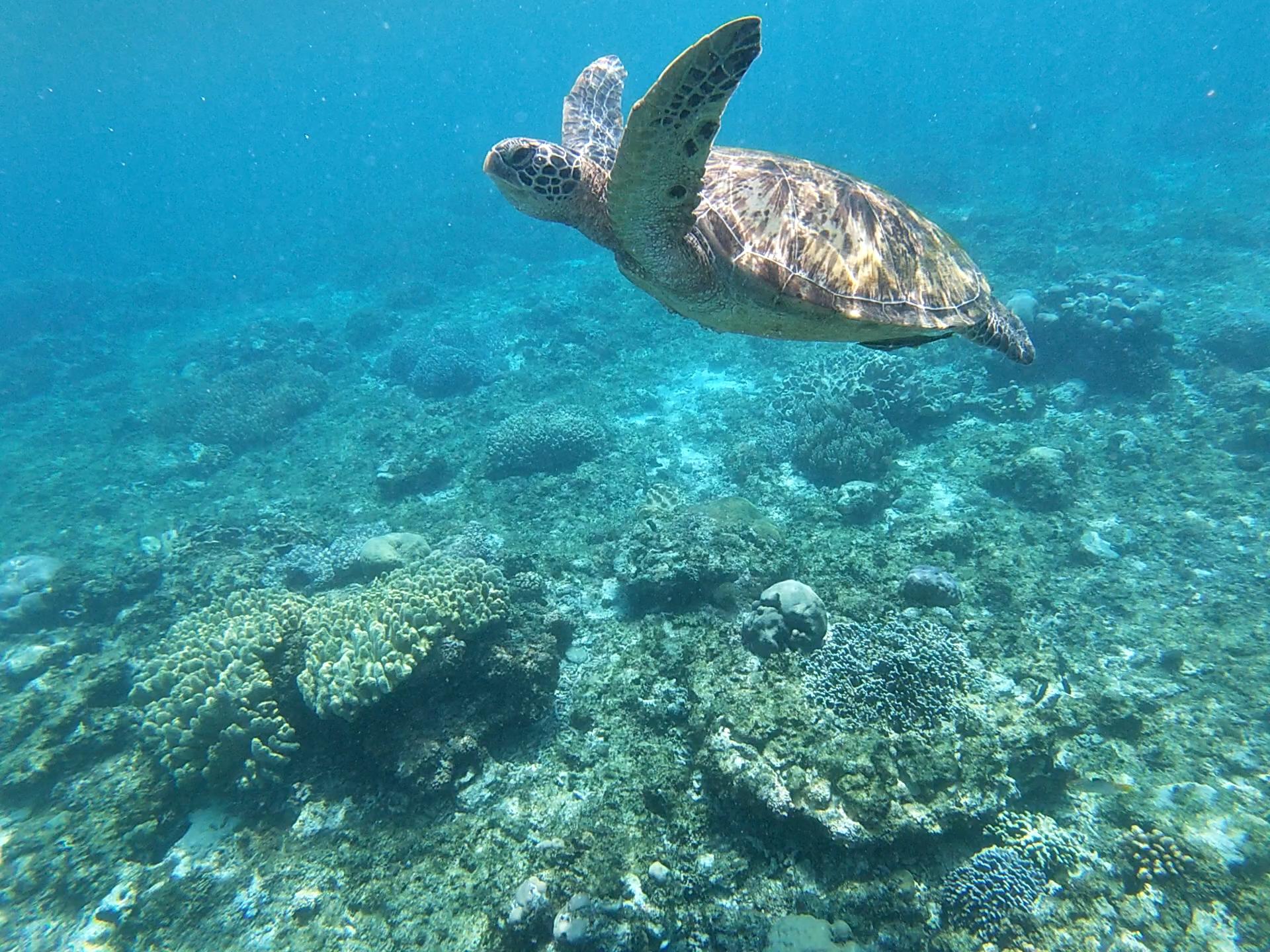 You are currently viewing Schnorcheln und Tauchen mit Schildkröten auf Apo Island [PHL]