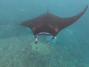 Schwimmen mit gigantischen Mantarochen [INDO]